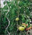 Top venta galvanizado con recubrimiento en polvo de metal de hierro alambre estacas espiral de tomate para la venta( fabricante profesional)