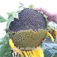 long type bulk organic sunflower seeds S3089