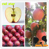 Red star Apple red chief apple in cheap price