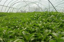 Best Sale Stevia Extract 80%,90% Steviosides( debitterizing)