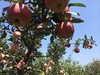 Names all fruit fresh red star apple fresh qinguan apple in china