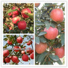 wholesale prices apple fruit with best quality on hot sale