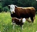 grado de la alimentación de proteína de soja concentrado para los animales