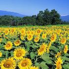 Refine Sunflower Oil
