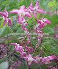 erectile function herbal extract epimedium extract icariin capsules