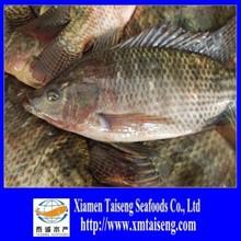 Live Tilapia Fish Frozen Fresh Tilapia to Supply