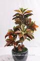 lt091501 caliente de la venta de interior o al aire libre artificial decorativo croton bonsai planta de hecho en china