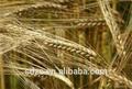 boa qualidade de sementes de cevada para a venda