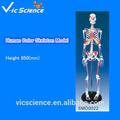 El color modelo de esqueleto humano con enthesis de músculos