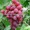 China cheap fresh grapes manufacturer price