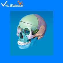 Human skull ,colored to distinguish different regions