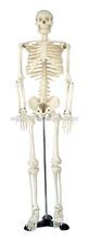 skeleton plastic model 85cm