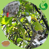 GMP Factory wholesale pygeum extract pygeum africanum extract