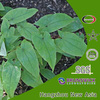 100% Natural Epimedium Extract (Icariin CAS No.:489-32-7) 5%-98%