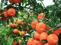 Orange graines, d'agrumes. semences pour la vente