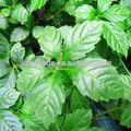 jiao gu lan gynostemma menopausa remédios de ervas