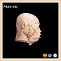 cabeça profunda músculos modelo manequim cabeça