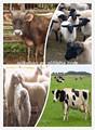 De la vaca, ovejas, caballo de aditivo para alimentación animal para el aumento de peso