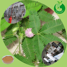 100% natural Mimosa pudica extract sensitive plant mimose powder
