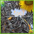 mongolia interior comestible de las semillas de girasol a granel en