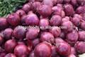 Oignon frais raisin deglet nour dates de algérie