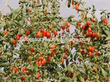 2014 hot sale barbary wolfberry fruit/Goji berry/Medlar