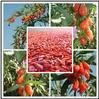 Hot selling 500 goji berries