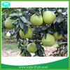 2014 new arrival Guanxi honey pomelo grapefruit
