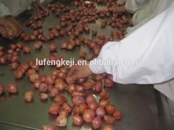 new crop Fresh Shallot Onion