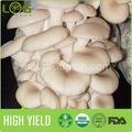 tipo de hongo comestible de blanco seta ostra cultura y venta al por mayor precio de exportación competitiva