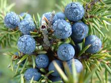 100 pure and natural Juniper berry essential oil