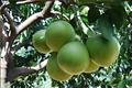 dulce y agrio frutas pomelo