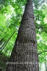 Manchurian Fir Wood Logs/Fir-tree from China