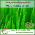 Agropyre organique poudre / poudre d'herbe de blé / blé biologique herbe poudre de jus