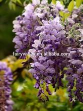 Heirloom Wisteria Seeds Tree Seeds Wisteria sinensis Chinese Wisteria Vine Purple Flowers Bonsai Seeds For Growing