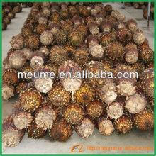 Cycas revoluta bulb Sago Palm landscaping tree nursery