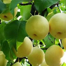 Fresh golden pear class 1 sweet golden pear organic golden pear