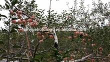2014 fresh red Fuji apples