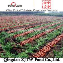 china fresh vegetables bulk carrot seeds