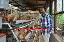 reduced manpower cage layer chicken