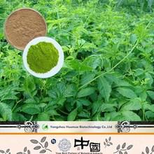 GMP factory gynostemma plant extract gynostemma pentaphyllum extract