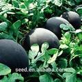 Büyük siyah çekirdeksiz karpuz tohumu sx no. 3