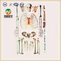 Espalhados modelo de esqueleto humano( vida tamanho do corpo inteir