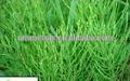 Equisetum arvense Extract 7%