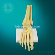 A01-004 Human medical anatomical foot model,foot anatomy model, medical skeleton foot model