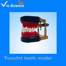 Human Medical typodont teeth