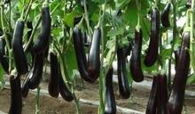 purple eggplant seeds