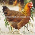 Chicken gallbladder paste