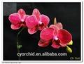 orquídea vermelha da flor da orquídea phalaenopsis balão de mudas para taiwan borboleta orquídea berçário