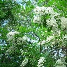 Quercetin 117-39-5 plant extract 98%